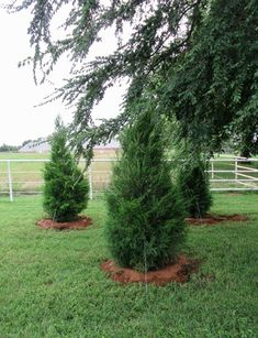 Eastern Red Cedar are evergreen trees with a dense, pyramidal form providing an excellent screen for landscapes around Dallas, Texas. Front Yard Garden Design, Garden Landscape Design, Palm Trees Landscaping, Landscaping Tips, Garden Trees, Garden Planters, Evergreen Trees For Privacy, Cedar Trees, Plant Nursery