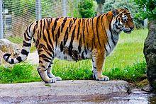 Tiger – Wikipedia