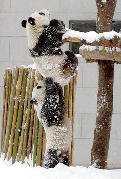 acricket86:    おまえらイライラしてるから子パンダの後姿でも見て和め : ニュースウォッチ2ちゃんねる -NW2-