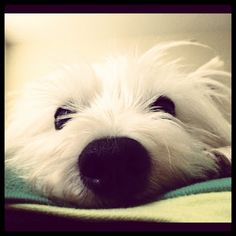 Southern Happy Hour. Cutest westie. west highland terrier
