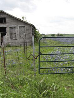 Bluebonnets on the old farm