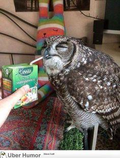 featherless barn owl   Aves   Featherless owl, Owl, Animals