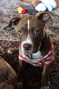 American Pitbull Terrier Puppy Dog Puppies Hound Dogs Staffordshire
