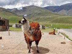 Llama en El Infiernillo, Tucumán, Argentina; a 3042 msnm. Foto tomada por mí :)