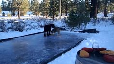 Winery dogs curling on our High Sierra Court. Go Max, go!