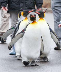 Penguin Parade at the @Cincinnati Zoo #myActions