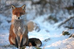 Young Male Fox in Snow | Flickr - Photo Sharing!