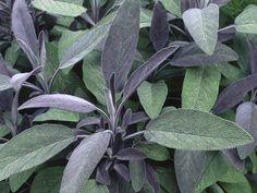 salvia officinalis purpurea