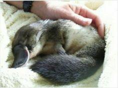 Sleeping Platypus <3