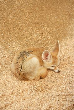 Fennec (A small pale fox with large pointed ears, native to the deserts of North Africa and Arabia). Nature Animals, Baby Animals, Funny Animals, Cute Animals, Cute Creatures, Beautiful Creatures, Animals Beautiful, Fennec Fox, Tier Fotos