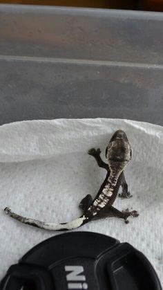 Correlophus ciliatus crested gecko Ive never seen a black and white one . So pretty Les Reptiles, Cute Reptiles, Reptiles And Amphibians, Cute Lizard, Cute Gecko, Pretty Animals, Animals Beautiful, Cute Animals, Terrarium