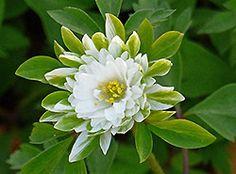 Sandfrauchen, Lieblingspflanzen im April Anemone Hepatica, Wood Anemone, Exotic Art, Exotic Plants, Beautiful Flowers, Flora, Leaves, Drawings, Bulbs