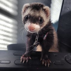 Such a cute little bandit face!!