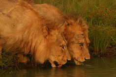 Africa | Early morning drink. Young male Lion coalition at Ngala.  South Africa | © Stephen Mawby