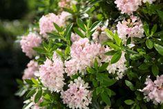 Rhododendron migranthum 'Bloombux'® INKARHO: Üppige Blütenpracht und Bux-ähnliche Schnitteigenschaften - Bloombux® INKARHO - Blüte