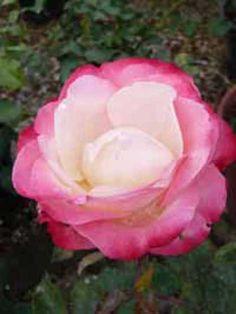 Rosa 'Nostalgie' / Englische Rose 'Nostalgie'
