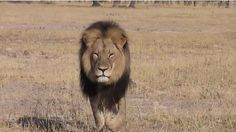 Walter Palmer, the man who allegedly shot and killed Zimbabwe's world-famous lion, is upset over the backlash. SIGN the petition to have him held accountable and punished!