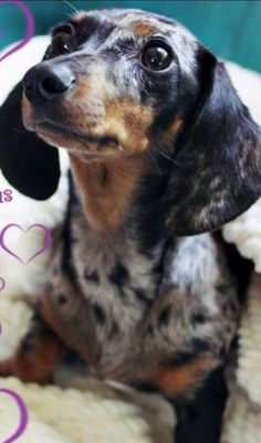 Dapple #dachshund in honor of Shea's Lady Dachshund, minus the longhair. :)