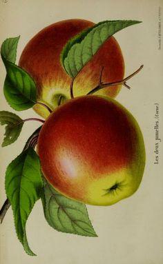 antique apples illustration, Vol. 15 (1865) - Belgique horticole. - Biodiversity Heritage Library