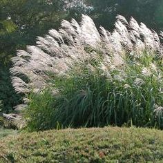 Miscanthus sinensis 'Silberfeder' Silver Feather Grass from E. Landscaping Plants, Garden Plants, Miscanthus Sinensis Silberfeder, Bell Gardens, Prairie Garden, Coastal House Plans, Herbaceous Border, Drought Tolerant Plants, Plantar
