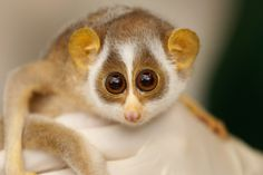 The Slow Loris is a cute little primate that lives in Asia. This is a baby Slow Loris. Cute Animals Puppies, Cute Baby Animals, Funny Animals, Tame Animals, Crazy Animals, Animal Babies, Wild Animals, Primates, Mammals