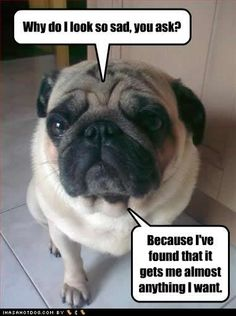 This so reminds me of our pug, Bella! Except, I must say, Bella is way cuter, lol!!!