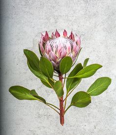Inspired by Colonial Botanical Illustrators Protea Art, Protea Flower, Botanical Drawings, Botanical Illustration, Illustration Art, Illustrations, Botanical Flowers, Botanical Prints, Pieris Japonica