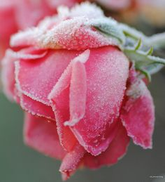 Thursday flower - a frosted rose