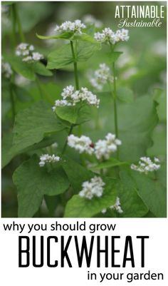 Buckwheat is a fabulous addition to your garden, and not even just for eating. It's been surprisingly good at creating lots of unexpected benefits in my vegetable garden. PLUS, it's super easy to grow!