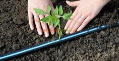 La ce distanţe se plantează răsadurile de legume | Paradis Verde Asparagus, Green Beans, Carrots, Vegetables, Gardening, Paradis, Spring, Veg Garden, Grow Tomatoes