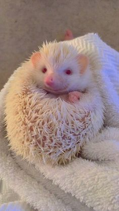 This sub is filled with cats, dogs, and donkeys, so how about we fill it with albino African Pygmy hedgehogs! Albino Hedgehog, Hedgehog Pet, Cute Hedgehog, Hedgehog Cage, The Animals, Cute Baby Animals, Albino African, Animal Kingdom, Rare Albino Animals