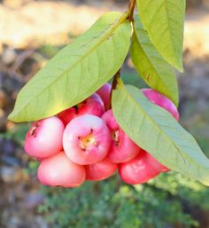 Pink wax apple's