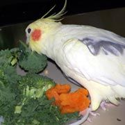 Cockatiels, Foods for Cockatiels that are Healthy and Nutritious, What foods to feed cockatiels, , Recommended Nutritional Foods,Avian Nutri...