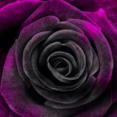Goth rose