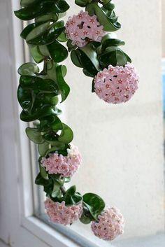House Plants Decor, Plant Decor, Hanging Plants, Indoor Plants, Succulents Garden, Planting Flowers, Exotic Flowers, Beautiful Flowers, Hindu Rope Plant