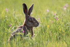 Hare by Steve Mackay on 500px