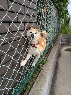 """Hilarious Shiba """"Doge"""" Inu Getting Stuck Everyday Shiba Inu, Silly Dogs, Funny Dogs, Cute Dogs, Funny Memes, Animals And Pets, Funny Animals, Cute Animals, Funny Animal Pictures"""