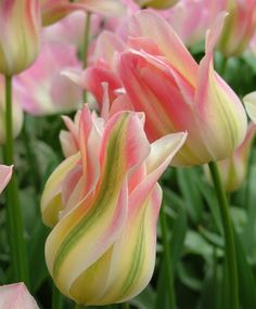 Tulip Florosa - Lily Flowering - Tulips - Flower Bulbs Index