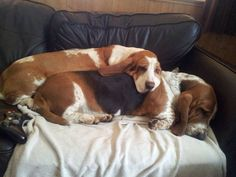 Basset Hounds snuggling together.