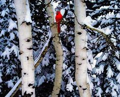 Cardinal in the birch trees