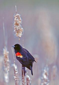 #Conservation #Nature #Outdoors #Wildlife #RedWingedBlackBird Bird #Hamilton #HCA