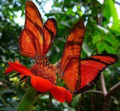 Orange Butterflies from Belem Brazil Beautiful Bugs, Beautiful Butterflies, Beautiful World, Beautiful Flowers, Orange Butterfly, Butterfly Flowers, Butterfly Photos, Butterfly Canvas, Red Flowers