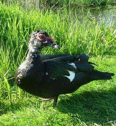 Muscovy Duck - Kent, WA
