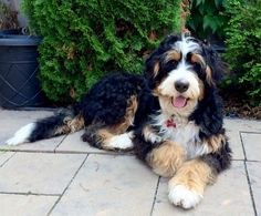 pretty dogs detail are offered on our web pages. Check it out and you will not be sorry you did. Puppies And Kitties, Cute Puppies, Cute Dogs, Doggies, Corgi Puppies, Animals And Pets, Cute Animals, Bernedoodle Puppy, Goldendoodles