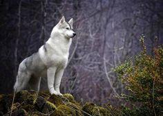 white wolf face - Hľadať Googlom