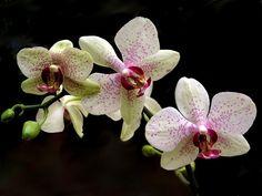 Így öntözd és párásítsd az orchideát! - CityGreen.hu Orchid Care, Decoration, Orchids, Tropical, Magazine, Replant, Plant Decor, Daisies, Vegetable Gardening