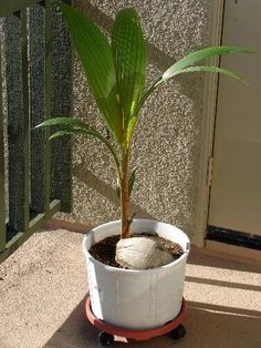 Grow coconut palms.