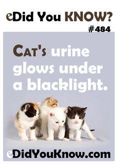 Cat's urine glows under a blacklight.  eDidYouKnow.com