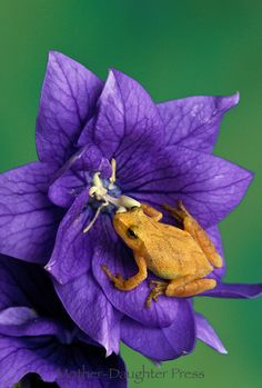 Spring Peeper frog, Hyla crucifer, on platycodon purple flower Chinese Giant Salamander, Cute Small Animals, Amazing Frog, Funny Frogs, Frog And Toad, Reptiles And Amphibians, Tree Frogs, Beautiful Creatures, Purple Flowers