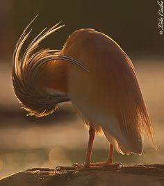 Squacco Heron by Csaba Loki on 500px